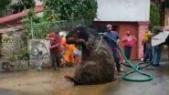 A Giant Rat Found In Mexico: मॅक्सिकोमध्ये सापडला माणसापेक्षा मोठा उंदीर; सोशल मीडियावर व्हायरल झालेल्या व्हिडिओमागील सत्य घ्या जाणून