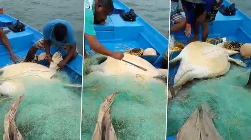 वेंगुर्ला: माशांच्या जाळीत अडकलेल्या 95 किलो Green Sea Turtle ची  मच्छिमारांकडुन सुटका, आदित्य ठाकरेंनी केलंं कौतुक (Watch Video)