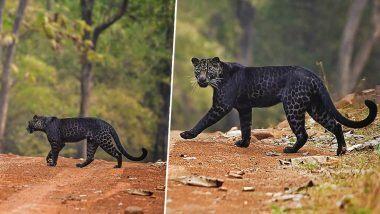 Maharashtra: ताडोबा नॅशनल पार्कमध्ये दुर्मिळ अशा Black Leopard दिसल्याचे फोटो व्हायरल, जाणून घ्या 'या' बिबट्यांच्या मागील रहस्य