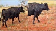 Cow Snacks on Snake: ऑस्ट्रेलिया मध्ये गाय सापाला खात असल्याची दुर्मिळ घटना कॅमेर्यात कैद; पहा व्हायरल फोटो