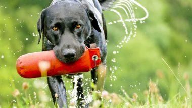Labrador Picks Up Sex Toy: 'सेक्स टॉय' तोंडात पकडून पळाला कुत्रा; तिची झाली दैना.. दैना