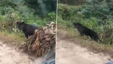 Black Panther Viral Video: देशाच्या पर्वतीय जंगलात आढळला दुर्मिळ ब्लॅक पँथर; सोशल मीडियावर व्हिडिओ व्हायरल