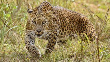 Leopards Increased in India: भारतात गेल्या 4 वर्षात बिबट्यांच्या संख्येत 60 टक्क्यांची वाढ; मध्य प्रदेशात सर्वाधिक तर महाराष्ट्र तिसऱ्या क्रमांकावर