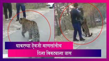 Young Leopard Strolls On Highway: बिबट्याच्या बछड्याला माणसांनीच दिला त्रास; पाहा व्हिडिओ
