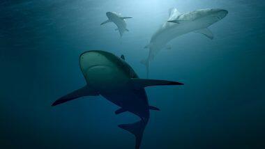 शार्क मासे नष्ट होण्याचा धोका; 50 वर्षांत 70% जीव झाले कमी