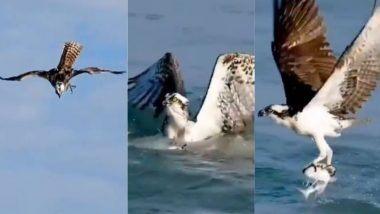 आकाशात उंच उडणाऱ्या गरुडाने समुद्रातील माशाची अशी केली शिकार; पहा थक्क करणारा Video
