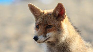 Fox Rescued In Thane: औषधांच्या दुकानात कोल्हा शिरला! वनविभागाने पकडला, उद्यानात सोडला; ठाणेकरांनाही घडले कोल्होबाचे दर्शन