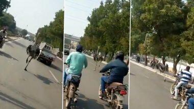 Ostrich Running on Karachi Road! प्राणीसंग्रहालयातून निसटून कराचीच्या ट्राफिकमधून धावू लागला शहामृग; जीव वाचवण्यासाठी पक्षाची धडपड (Watch Video)
