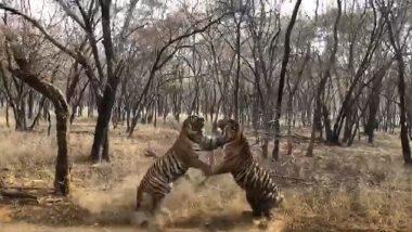 Tiger Fight Video: वाघाला भिडला वाघ, झुंज दोन वाघांची; डरकाळी सोबत नैसर्गिक संघर्षाची जबरदस्त झलक, पाहा व्हिडिओ