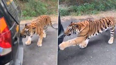 Close Call! बंगळुरुतील बन्रेरघट्टा राष्ट्रीय उद्यानात सफारीसाठी आलेल्या प्रवाशाची गाडी दाताने घेचतानाचा वाघाचा व्हिडिओ व्हायरल (Video)