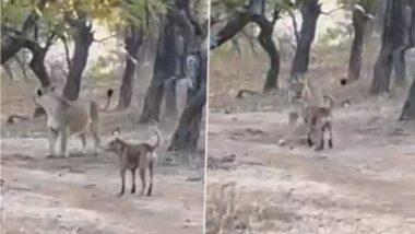 Viral Video: भटका कुत्रा आणि सिंहिणीमध्ये जबरदस्त लढाई; नंतर काय झालं नक्की पहा