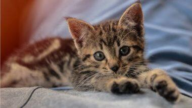 दक्षिण कोरियामध्ये कोरोना विषाणूचं मोठ संकट; मांजराच्या पिल्लाला कोविड-19 चा संसर्ग