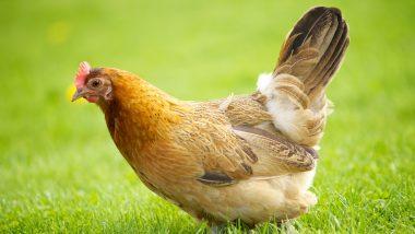 Satara: कराड तालुक्यात कोंबड्यांची वाहतूक करणाऱ्या टेम्पोला अपघात; 600 कोंबड्यांचा मृत्यू