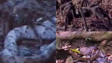 Spider Kills King Cobra: स्पायडरने केली चक्क किंग कोबराची शिकार; विषारी सापाचा असा केला खात्मा, येथे पाहा संपूर्ण व्हिडिओ