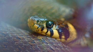OMG! सापाच्या डोक्यावर लावले वापरलेले Condom, श्वास घेण्यास मुश्किल झाल्याने तडफडू लागला साप, वाचा काय घडले पुढे?
