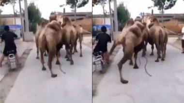 Viral Video: बाजूने जात असलेल्या दुचाकीस्वारचा उंटाला आला राग; मग पुढे काय झाले? पाहा संपूर्ण व्हिडिओ