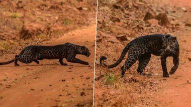 दुर्मिळ  Black Leopard पुन्हा दिसला ताडोबा नॅशनल पार्क मध्ये; वाईल्ड फोटोग्राफर Anurag Gawande ने टिपलेल्या फोटोंनी नेटकरी पुन्हा थक्क!