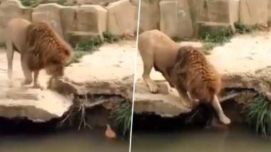सिंहाचं ही कनवाळू रूप; पहा बदकाच्या पिल्लासोबत खेळणार्या जंगलाचा राजाचा हृद्यस्पर्शी व्हिडिओ