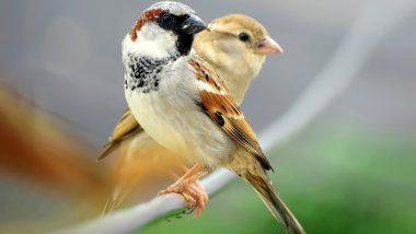 World Sparrow Day: जागतिक चिमणी दिनानिमित्त जाणून घ्या या पक्ष्यांच्या संवर्धनासंबंधी महत्त्वाची माहिती