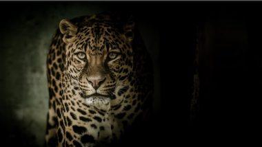Leopard Attack in Aarey Colony: मुंबईत आरे कॉलनी परिसरात सतर्क नागरिकांमुळे बिबट्याच्या हल्ल्यातून बचावला 4 वर्षीय चिमुकला
