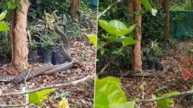 Snake Viral Video: दोन विषारी सापातील लढाई पाहून तुम्हालाही सुटेल थरकाप; पहा संपूर्ण व्हिडिओ