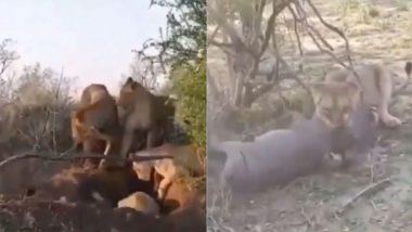 सिंहिणी ने केली जंगली डुक्कराची शिकार; थरकाप उडवणारी घटना कॅमेऱ्यात कैद (Watch Viral Video)