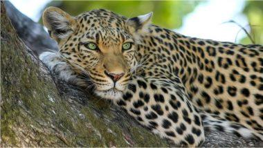 Leopard Attack: कोल्हापूरमध्ये बिबट्याचा परिवारावर हल्ला, सुदैवाने सर्वजण बचावले