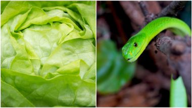 Lettuce Pack मधून निघाला विषारी साप, कुटुंबीयांची भीतीने उडाली गाळण