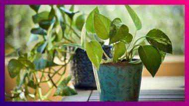 Money Plant Benefits: घरात मनी प्लांट लावण्याचे 'हे' आश्चर्यचकीत करणारे फायदे तुम्हाला माहीत आहेत का