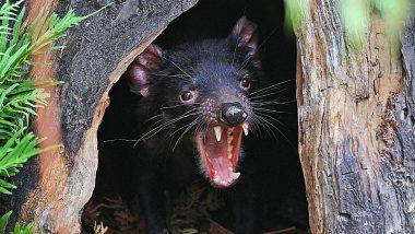 Tasmanian Devils: काय सांगता? तब्बल 3000 वर्षानंतर ऑस्ट्रेलियाच्या जंगलात 'तस्मानियन डेव्हिल्स'चा जन्म; विलुप्त झाली होती प्रजाती
