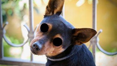 Cruelty with Animals: शस्त्र खुपसून कुत्र्याचे डोळे फोडले; पुणे येथील सांगवी परिसरात विकृत कृत्य