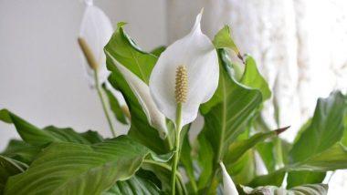 Health benefits of Peace lily: श्वसनासंबंधित आजार असलेल्या रुग्णांसाठी फायदेशीर ठरते पीस लिली, जाणून घ्या खासियत