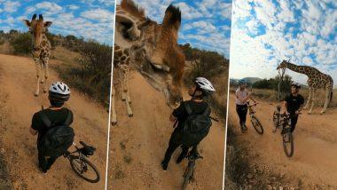 Giraffe Viral Video: दक्षिण आफ्रिकेत माऊंटन बायकरला Safari Park मध्ये जिराफ जेव्हा सुंगतो... पहा हा वायरल व्हिडिओ