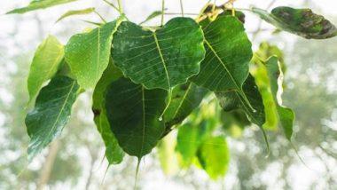 Peepal Leaf Benefits: पिंपळाच्या पानांचा रस आहेआरोग्यासाठी फायदेशीर आहे; यानेहृदय आणि फुफ्फुस राहिल स्वस्थ