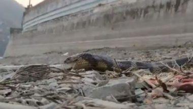 जेव्हा नागराज स्वत: दुसऱ्या जिवंत सापाला गिळायला लागला , धक्कादायक व्हिडिओ आला समोर झाला (Watch Viral Video)