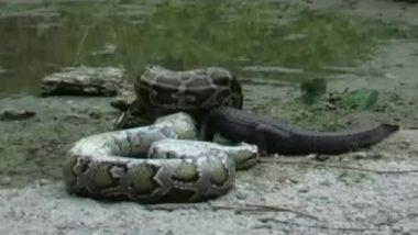 Python Eats Alligator Video: अवघ्या काही मिनिटातच अजगराने एलीगेटरला गिळून टाकले; व्हिडिओ पाहून तुम्हालाही फुटेल घाम
