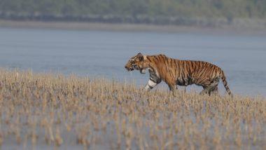 Tiger In India: सुंदरबन येथील  वाघाचा कारनामा; समुद्र, नद्या-नाल्यांसह 100 किमी आंतर पार करत बांग्लादेशात पोहोचला