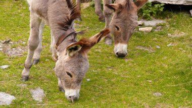 काय सांगता? Pakistan च्या अर्थव्यवस्थेला चक्क गाढवांमुळे चालना; Donkey लोकसंख्या पोहोचली 56 लाखावर