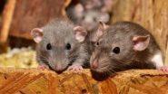 बाबो! चक्क पुरुष उंदरांना Pregnant करून त्यांना पिल्लांना जन्म देण्यास भाग पाडले; China च्या शास्त्रज्ञांचा विचित्र प्रयोग