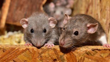 बाबो! चक्क नर उंदरांना Pregnant करून त्यांना पिल्लांना जन्म देण्यास भाग पाडले; China च्या शास्त्रज्ञांचा विचित्र प्रयोग