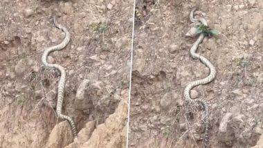 King Cobra Video: हिमाचल प्रदेशाच्या टेकड्यांवर चढताना दिसला किंग कोब्रा; लांबीच्या बाबतीत तोडलासर्व सापांचा रेकॉर्ड, पाहा व्हिडिओ