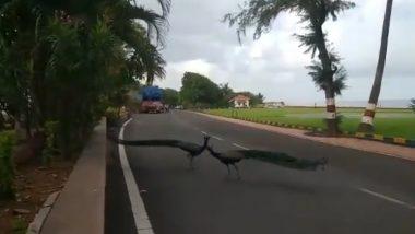 मुंबई: राजभवन परिसरात रस्त्यावर बागडताना दिसली मोरांची जोडी (Watch Video)
