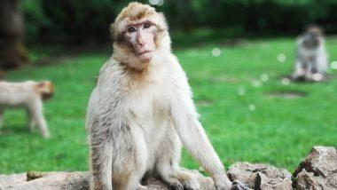 Monkey B Virus: चीनमध्ये पहिल्यांदाच मानवांमध्ये 'मंकी बीव्हायरस'ची पुष्टी; माकडामुळे संसर्ग झालेल्या पशुवैद्याचा मृत्यू