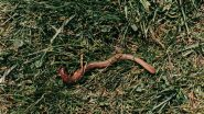 दक्षिण अमेरिकेतील 'Penis Snakes' आता  Florida मध्येही आढळला