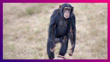 Belgium: Chimpanzee शी सोबत अफेअर असल्याचे समजताच  महिलेला प्राणिसंग्रहालयात येण्यास बंदी