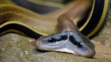 उत्तराखंड येथे सापडला दुर्मिळ दुतोंडी कोब्रा साप, वनाधिकाऱ्यांनी केली सुखरुप सुटका