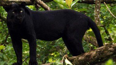 Black Panther In Mahabaleshwar: महाबळेश्वरमधील प्रसिद्ध प्रतापगड किल्ल्याजवळ घडले दुर्मीळ ब्लॅक पँथरचे दर्शन