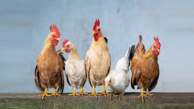 Death Of Chicken In Maharajganj: कोंबडी मेली, माजी आमदार पूत्राकडून पोलीसत तक्रार, थेट हत्येचाच गुन्हा