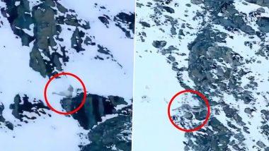बर्फाळ डोंगरावरुन कोसळला हिम बिबट्या, अंगावर काटा येईल असा व्हिडिओ व्हायरल (Watch Video)
