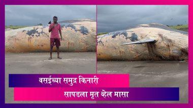 Whale Found On Mardes Beach In Vasai: वसई भागात समुद्र किनाऱ्यावर सापडला 40 फूट लांब आणि 12 फूट रुंद मृत व्हेल मासा